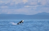 A southern resident orca breaches off Washington State's Olympic Peninsula.