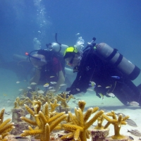 Coral restoration in the Florida Keys. Photo: NOAA